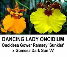 THG Orchid ONCIDIUM Oncidesa Sunblest = Gower Ramsey x Dark Sun MOUNTED