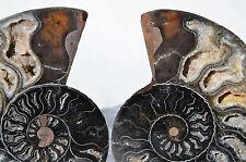 "RARE 1 in 100 BLACK PAIR Ammonite Crystal LARGE 117mm Dinosaur FOSSIL 4.6"" n1900"