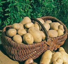 Pflanzkartoffel ANNABELLE festkochend sehr früh, Saatkartoffel Steckkartoffel