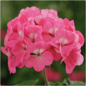 Geranium F1 Horizon Pink Pelargonium x 6 Plug Plants