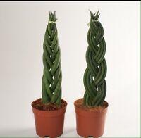 Sansevieria Cylindrica / Snake Plant