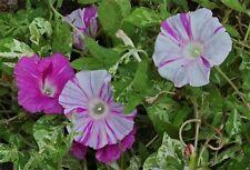 Japanese Morning Glory-ASAHI-Beautiful Blooms-NO 2 blooms are alike-10 seeds