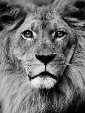 STUNNING LION WILDLIFE #11 QUALITY BLACK & WHITE CANVAS PICTURE WALL ART A1