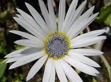 Arctotis Grandis White  Flower Seeds from Ukraine