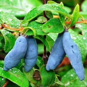 Honeyberry, haskap berry, blue-berried honeysuckle (Lonicera caerulea) 100 seeds