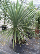 Cordyline Australis - cabbage palm 1000 Finest UK crop  Bulk seeds