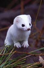 Short-Tailed Weasel Blank Journal (Hardback or Cased Book)