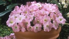 50 Seeds Pelleted Petunia Celebrity Chiffon Morn Flower Seeds