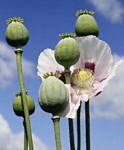 Echter Schlafmohn Samen, Papaver somniferum, Blaumohn, Blue Poppy seeds