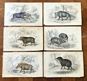 6 x Antique Natural History Hand coloured Hog/ Pig etchings/prints by Lizars