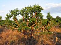 Ilex paraguariensis - Yerba maté tree - Fresh Seeds