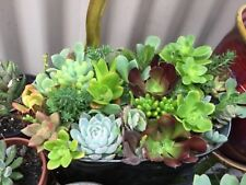 succulent cuttings x 8 mixed variety, free postage