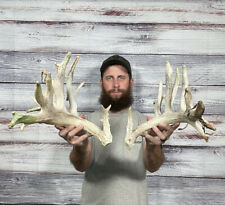 New listing Mini Monster 23pt Whitetail Cut Antler Horn Deer Mount Taxidermy Man Cave Cabin