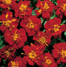 200 Marigold Seeds French Durango Red Seeds BULK SEEDS