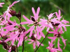 3 Lychnis flos cuculi Ragged Robin plant Native Pond Bee Moth pollinator BAT