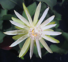 Epiphyllum guatemalense monstrousus Lockenepi Topf 1 26.7.