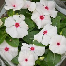 20x Periwinkle Vinca Rosea Flower Seeds Polka Dot White Home Garden Yard Plant