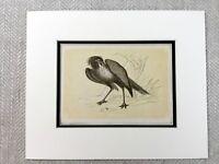 1853 Antico Uccello Stampa Secretarybird Segretaria Uccelli Originale Vittoriano