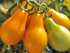 """Tomato Seeds """"Yellew Pear"""" (Approx 50 Seeds) Heavy Producer...."""