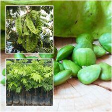 Bitter Bean Tree Plant Twisted Cluster Bean Stink Bean Parkia Speciosa Tall 18''