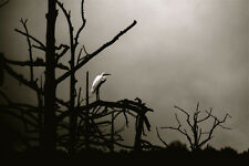 EGRET,limited edition ,photo prints ,singed and editioned, Louisiana