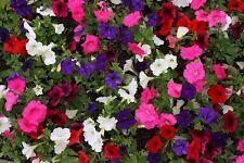 200 MIXED LAURA BUSH PETUNIA Violacea Pink Purple White Trumpet Flower Seeds