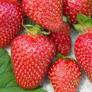 Allstar Junebearing Strawberry Plant (Lot Of 10 Plants)