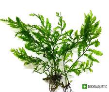Bolbitis Heteroclita Difformis Baby Leaf Aquarium Plants Freshwater Decorations