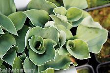 New Hosta Ruffled Mouse Ears very good bonsai accent garden plant mini size