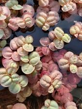 *Buy 2 Get 1 Free* 10 Red Root Floaters Phyllanthus Fluitans Floating Plant ✅