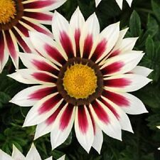 30+ GAZANIA NEW DAY RED STRIPE FLOWER SEEDS / DROUGHT-TOLERANT  RESEEDING ANNUAL