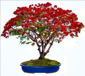 Delonix regia (Royal Poinciana Flame Tree) 3 Seeds RARE Flowers Indoor Bonsai UK