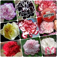 100pcs Carnation Seeds Perennial flower Dianthus Caryophyllus Clove pink Seed