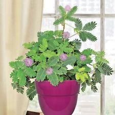 "60+LITTLELEAF SENSITIVE BRIAR PLANT Flower Seeds""Touch Me Not"" Native Wildflower"