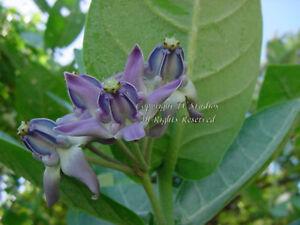 Calotropis gigantea seeds Blue Crown Flower Important to Monarch Butterflies