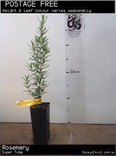 Rosemary (Rosmarinus officinalis) Fruit Tree Plant