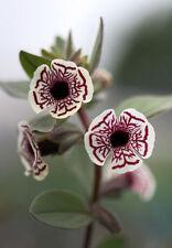 RARE 6 graines de MIMULUS PICTUS H288 CALICO MONKEY FLOWER SEEDS SAMEN SEMILLAS