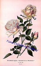 Botanical Illustration of the Bourbon Rose - Historic Art Print
