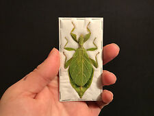 Entomologie Superbe Phasme feuille Phyllium jacobsoni A1 d'Indonesie!!