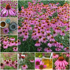 ECHINACEA PURPUREA 30 Seeds IMMUNE BOOST medicinal herb garden HERBAL REMEDY TEA