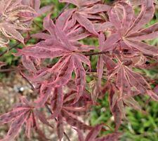 """Japanese Maple, Acer Palmatum, """"Geisha Gone Wild�"""