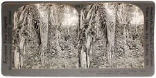 Keystone Stereoview Rubber Trees & Palm Nuts in PANAMA from 1910's Education Set