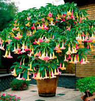100 PCS Seeds Datura Mini Bonsai Flower Plants Home Garden Brugmansia Flowering