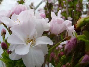 Prunus serrulata Amanogawa Säulenzierkirsche rosa Blüte 100 - 125 cm im Topf
