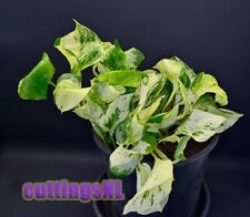 Epipremnum 'Manjula' (Happy Leaf; Pothos) rare variegated, rooted cutting