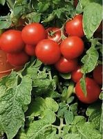 Tomato- Large Cherry Red - 50 Seeds -
