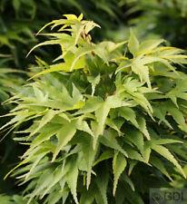 Acer palmatum Scomparti acero Mikawa yatsubusa 15-20cm