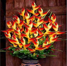 100 pcs Flower Orange Strelitzia Reginae Seeds Bird Of Paradise Seeds Jardim