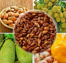 100% Pure Natural High quality sun dried Jack fruit Seeds 20 seeds Ceylon Free