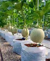 Bonsai Green Melon Cantaloupe Hami Potted Vegetable Japan Plant Seed Fruit 20PCS